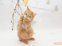 Ginger kitten chewing twig with yellow  leaves Royalty Free Stock Photography
