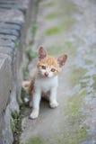 Ginger kitten China Royalty Free Stock Photography