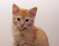 Ginger kitten, close-up Stock Images