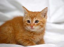 Ginger kitten Royalty Free Stock Image