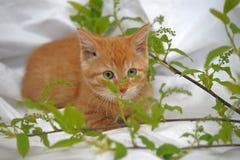 Ginger kitten Stock Images