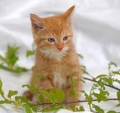 Ginger kitten Stock Photography
