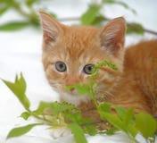Ginger kitten Royalty Free Stock Photos