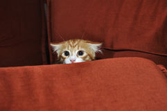 Ginger kitten. Frightened looks out for obstacles royalty free stock images