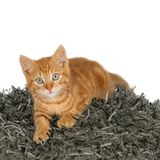 Ginger kitten on grey pillow Royalty Free Stock Photography