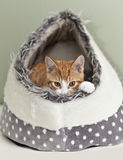 Ginger kitten in an igloo Stock Images