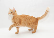 Ginger kitten, lift the front foot Stock Photo