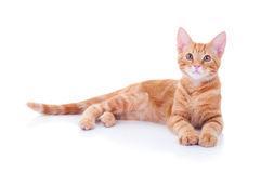 Red Cat White Stock Photos