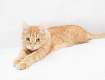 Ginger kitten, looking sadly into the distance Stock Photography