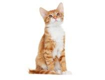 Ginger kitten looking Stock Image