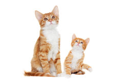Ginger kitten looking Royalty Free Stock Photo