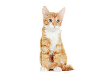 Ginger kitten looking Royalty Free Stock Photography