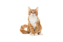 Ginger kitten looks Royalty Free Stock Images