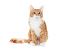 Ginger kitten looks Royalty Free Stock Photo