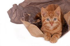 Ginger kitten and packing paper Stock Image