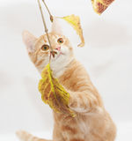 Ginger kitten playing with autumn leaves Stock Images