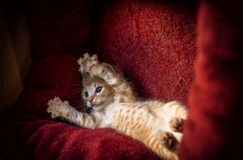 Ginger kitten royalty free stock photography