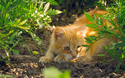 Ginger kitten playing in the garden Royalty Free Stock Images