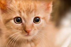 Ginger kitten portrait. Domestic cat 8 weeks old. Felis silvestris catus royalty free stock photos