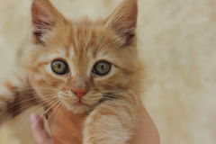 Ginger kitten Royalty Free Stock Images