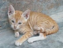 Ginger kitten resting outdoors Royalty Free Stock Images