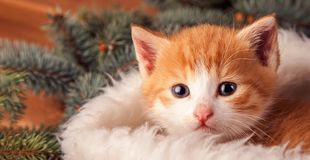 Ginger kitten in santa hat against the background of a Christmas. Tree royalty free stock photo