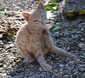 Ginger Kitten Scratching stock photos