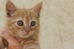 Ginger kitten. Stock Photography