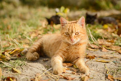 Ginger kitten shows lies Royalty Free Stock Photography