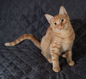 Ginger kitten sitting on black bedspread Royalty Free Stock Image