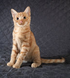 Ginger kitten sitting on black bedspread Royalty Free Stock Photo