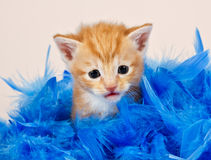 Ginger kitten sitting in blue feathers Royalty Free Stock Photos