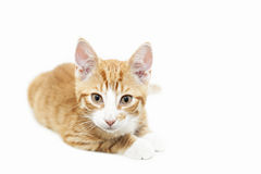 Ginger kitten staring Stock Photography