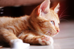 Ginger Kitten Royalty Free Stock Image