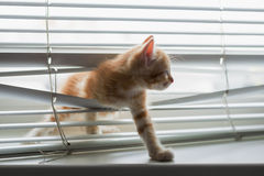 Ginger kitten tangled in window blinds Royalty Free Stock Photos