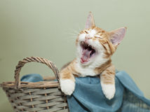 Ginger kitten yawning Royalty Free Stock Photo