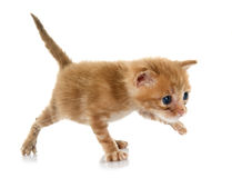 Ginger kitten Stock Photos