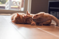 Ginger kittens playing stock photo
