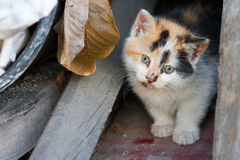 Ginger kitty. Young kitten looking curiously at the world Royalty Free Stock Photography