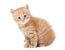 Ginger kitty Royalty Free Stock Photos