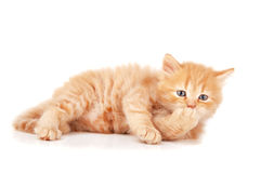Ginger kitty Stock Image