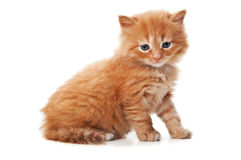 Ginger kitty with blue eyes Stock Image