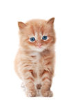 Ginger kitty with blue eyes Royalty Free Stock Photography