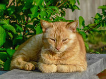 Ginger kitty cat lying outside outdoor Royalty Free Stock Images
