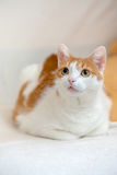 Ginger Kitty Lie On Bed With Folded Paws And Looking Interested Royalty Free Stock Images