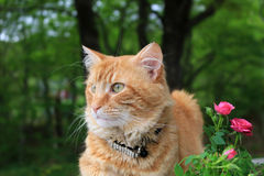 Ginger kitty sitting in the garden. Orange or ginger colored cat sitting peacefully outdoors in the garden beside some pink small roses Royalty Free Stock Photos