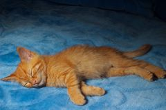 Ginger kitty sleeps Royalty Free Stock Image