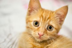 Ginger kitty on a white veil Stock Photography