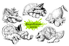 Ginger and lemon. In sketch style. Hand drawn graphic ink collection stock illustration