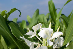 Ginger lily. White Ginger lily flower with leaves under blue sky Royalty Free Stock Images